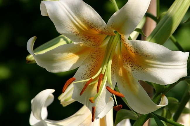 Язык цветов лилия жёлтая